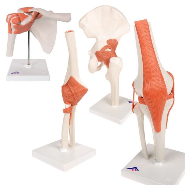 Set of Functional Joints | 3B Scientific A80, A81, A82, A83