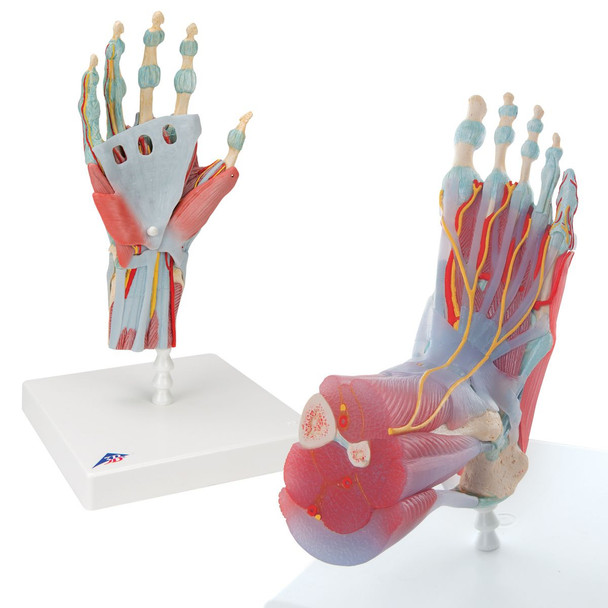 Dissectable Muscled Foot and Hand Set