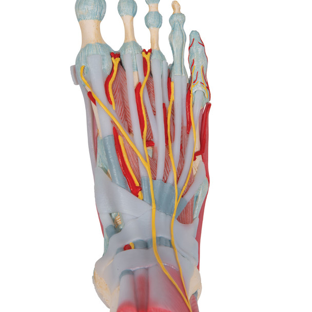 Foot Skeleton with Muscles and Ligaments - plantar