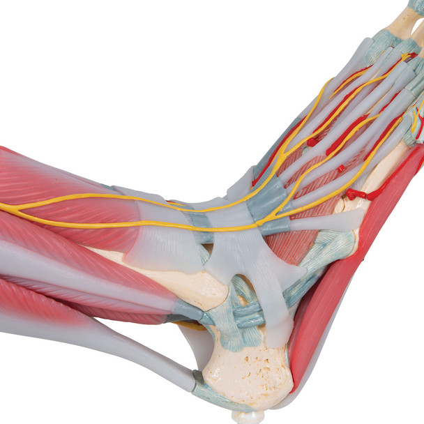 Foot Skeleton with Muscles and Ligaments - ankle detail