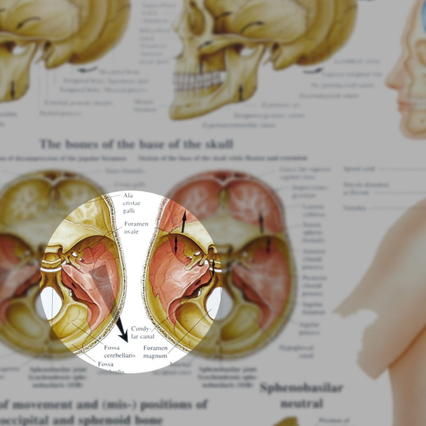 Cranial Osteopathy chart, 50cm x 70cm - detail