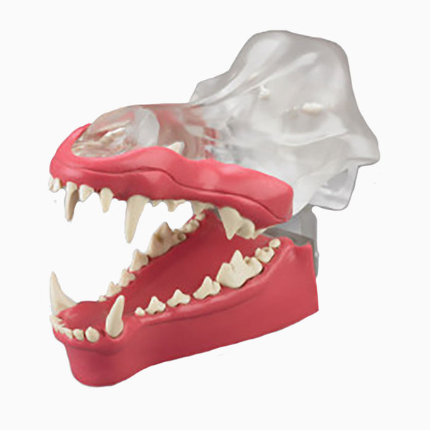 Articulated Clear Canine Model with natural root teeth with Gingiva - DGDG