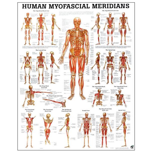 Human Myofascial Meridians