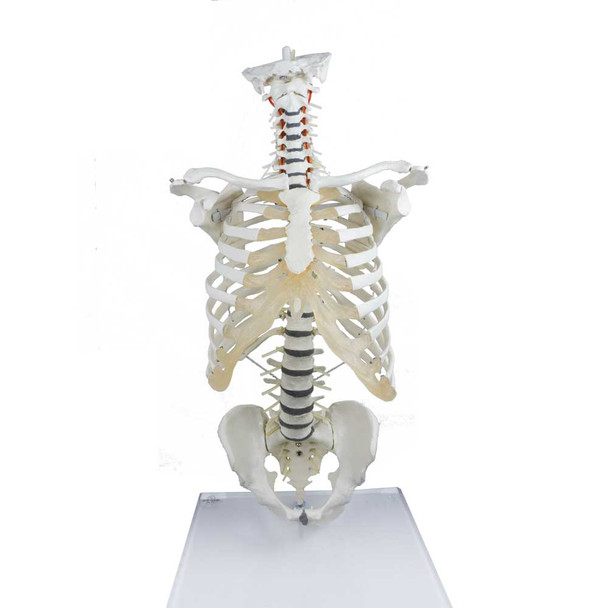 High Flexibility Spine with Thoracic Cage