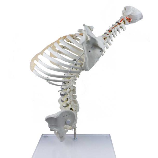 High Flexibility Spine with Thoracic Cage - backward flex