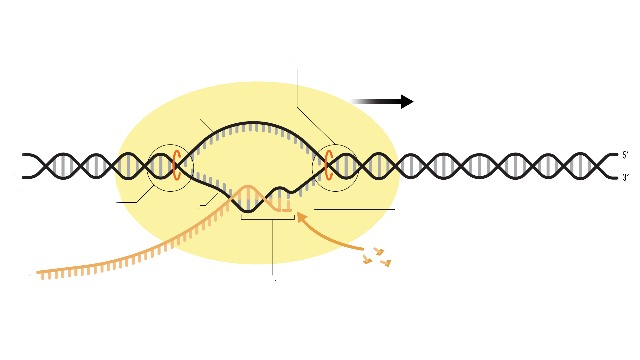 rna-polymerase-function-and-definition-346823.jpg