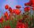 Bulk Poppy Red Corn Seeds - 25, 50, 100 Packs - Great for Creating Your Dream Garden