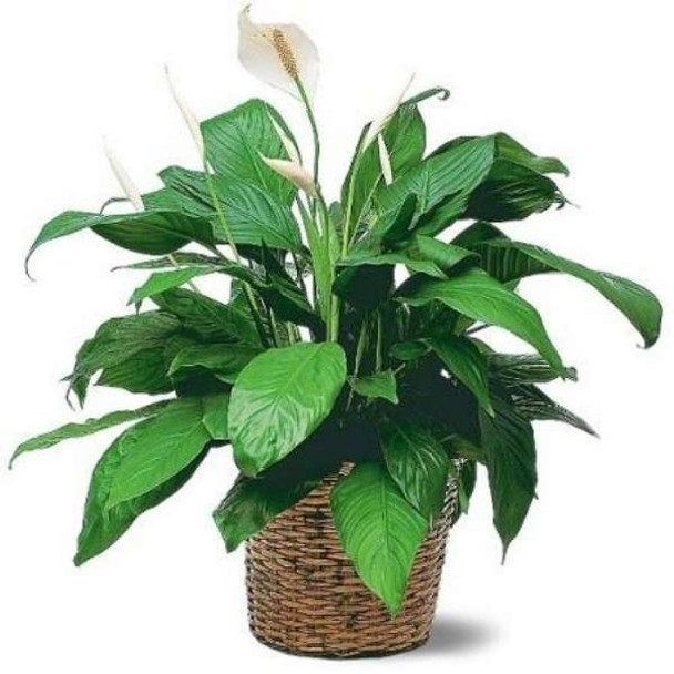 Peace Lily Plant - Gift Ideas for Plant Lovers