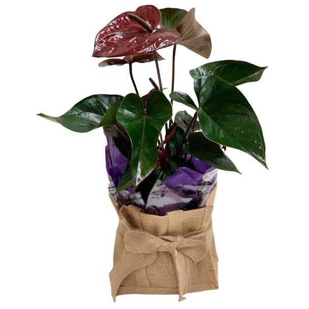 Plant Gifts - Anthurium - Pots will vary