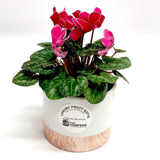 Plant Gift - Cyclamen