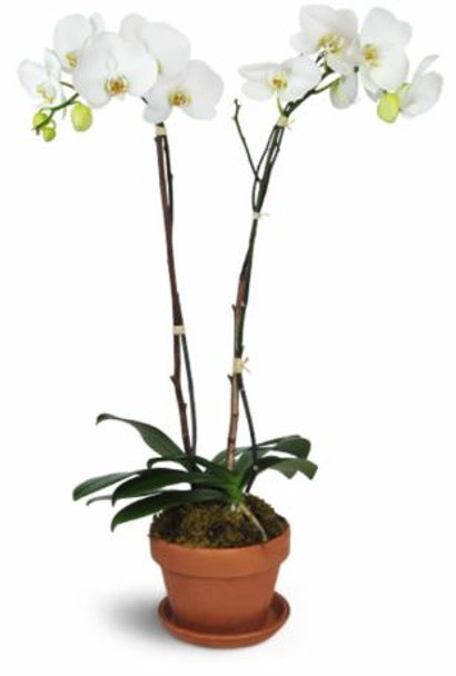 Plant Gift - Double Stem Orchid