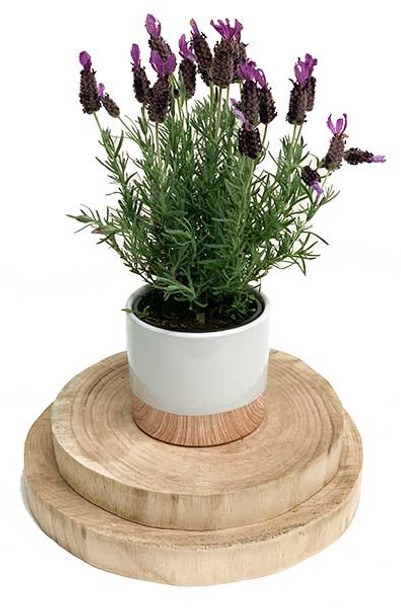 Fragrant Lavender Gift Plant