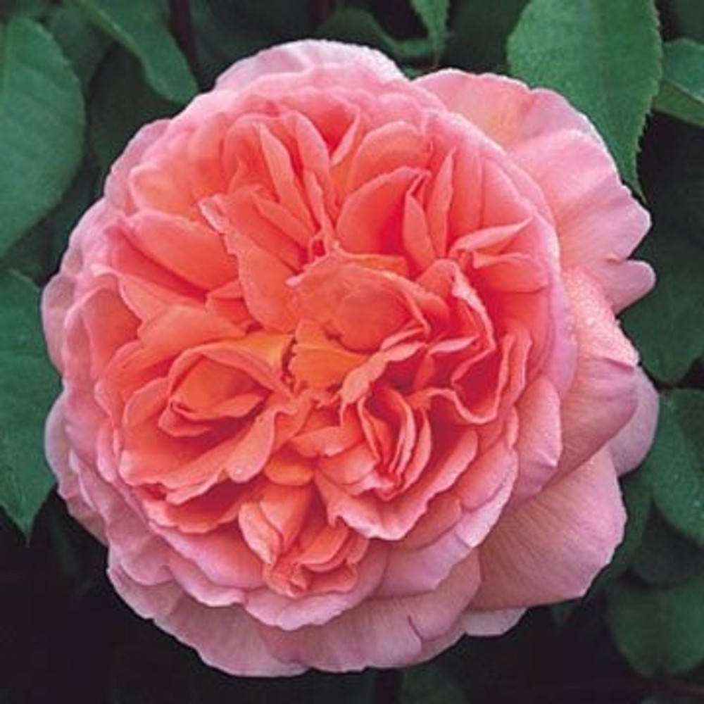 Abraham Darby - David Austin English Roses