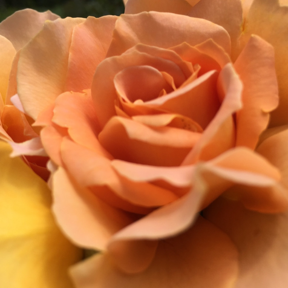 Honey Perfume - a beautiful, fragrant shrub rose from Cattail Creek Gardens