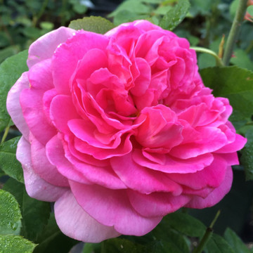England's Rose David Austin fragrant english rose from Cattail Creek Gardens