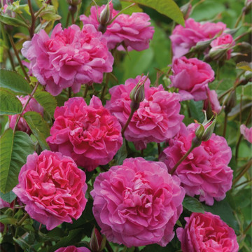 England's Rose - fragrant David Austin English Rose