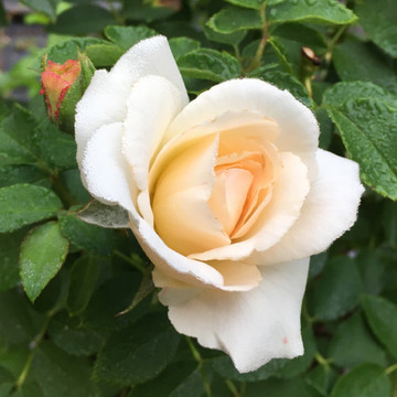 Kosmos Fairy Tale -  modern, fragrant and disease resistant shrub rose with classic old rose character