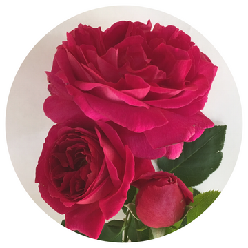 Othello - classic red David Austin English Rose from Cattail Creek Gardens - rich, old rose fragrance and deep crimson blooms