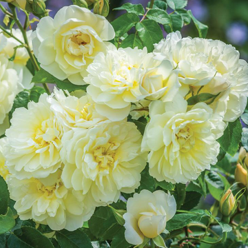 Imogen English Shrub Rose - clusters of light-yellow roses that repeat through the season, new for 2021 - Cattail Creek Gardens