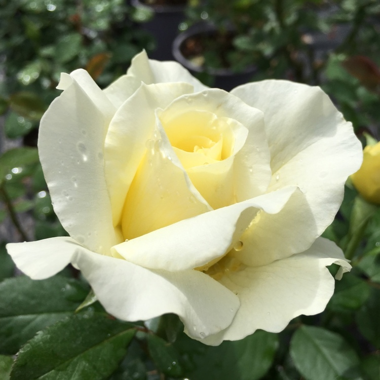 Beautiful creamy-white/yellow fragrant White Licorice Shrub Rose
