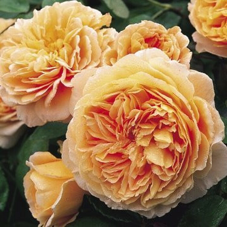 Crown Princess Margareta - David Austin English Roses
