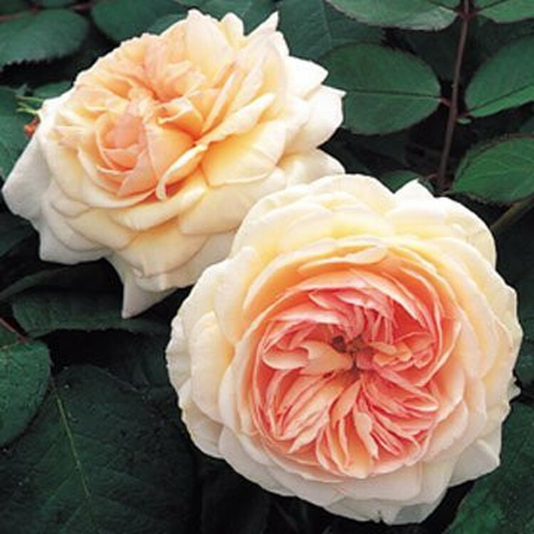 A Shropshire Lad - David Austin English Roses