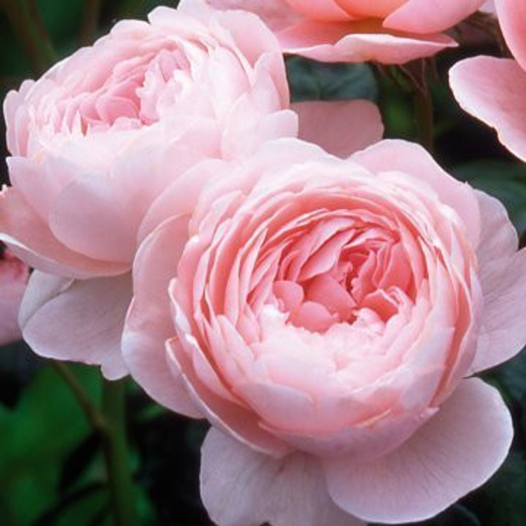 Queen of Sweden - David Austin English Roses
