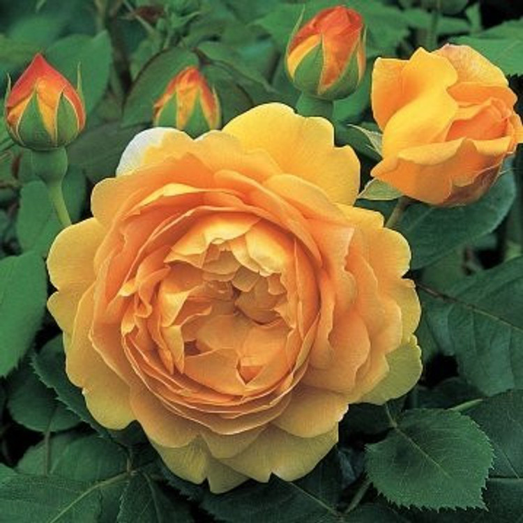 Golden Celebration - David Austin English Roses
