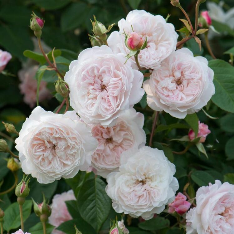 Albrighton Rambler English Rose