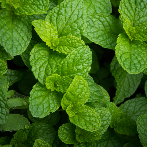 Mint Liquid