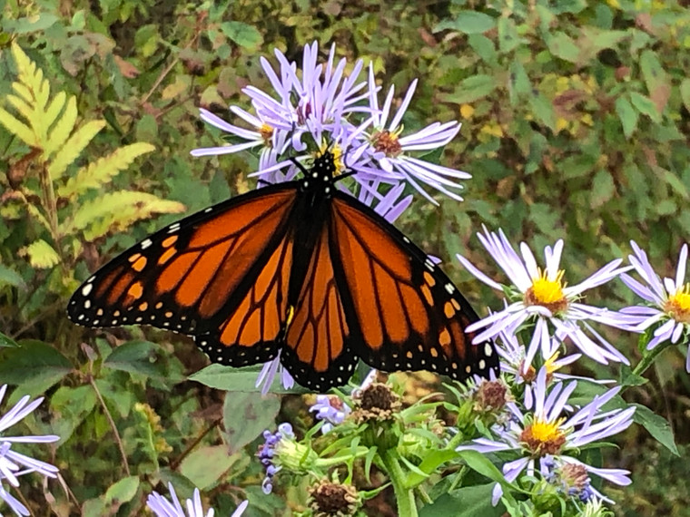 Monarch Butterfly - Maryland Sheep & Wool 2021 Exclusive