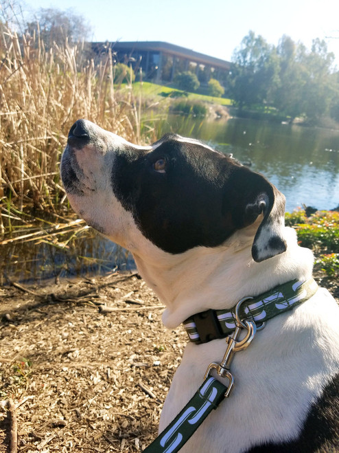Danuu mascot, Murphy, sporting our green collar.