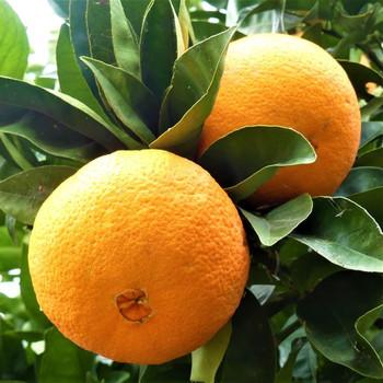 Navel Oranges per kg buy fresh fruit and vegetables online Malta
