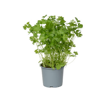 Parsley pot buy fresh fruit and vegetables online Malta