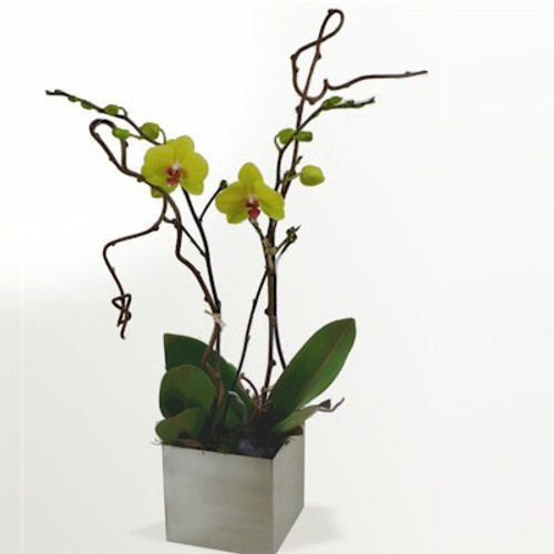 Two stemmed Phalaenopsis Orchid