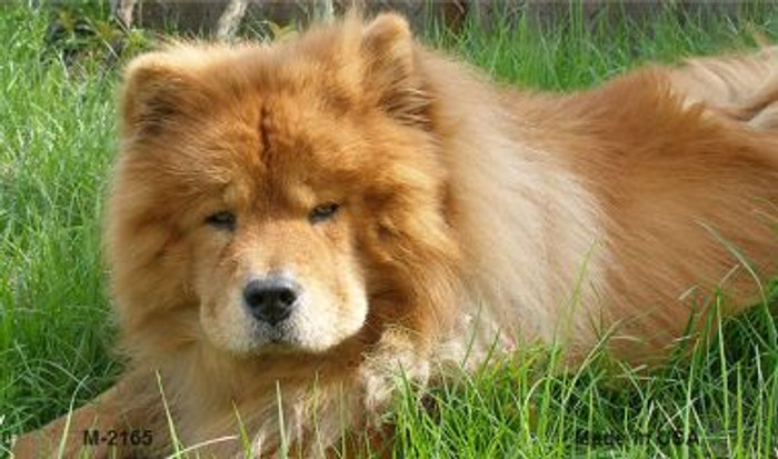Chow Chow Novelty Metal Magnet M-2165