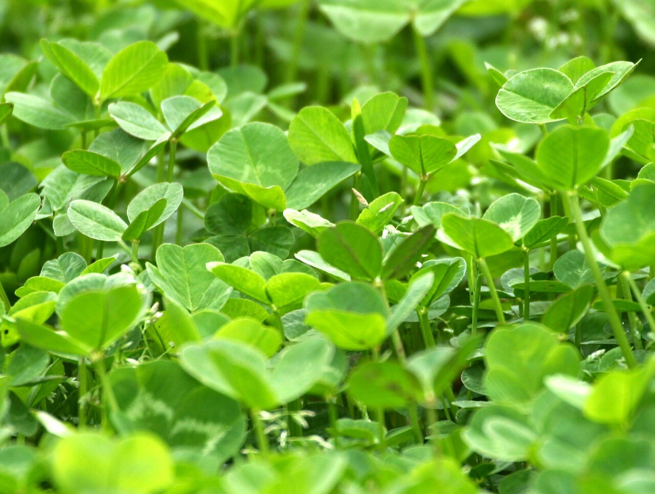 Clover close up