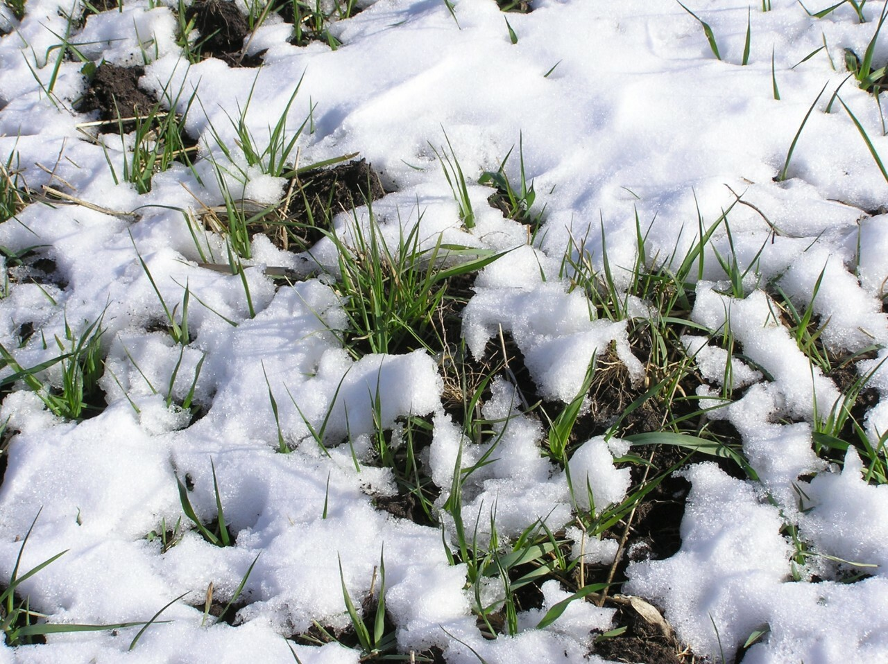 Whitetail Oats Plus in snow