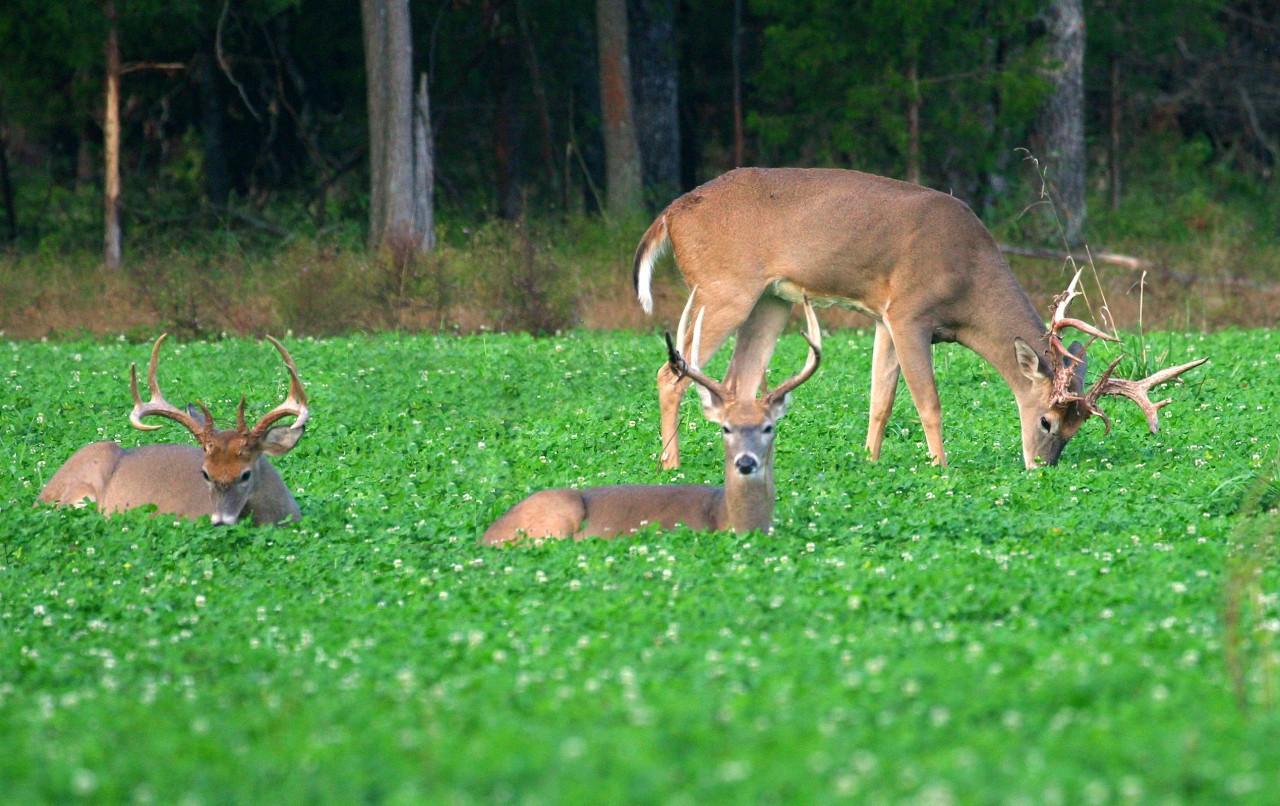 Bucks laying and feeding in clover