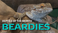 Bearded Dragons: Fun Facts and Pet Care Turorials