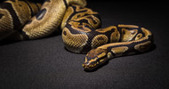 Snakes: Fun Facts and Pet Care Tutorials