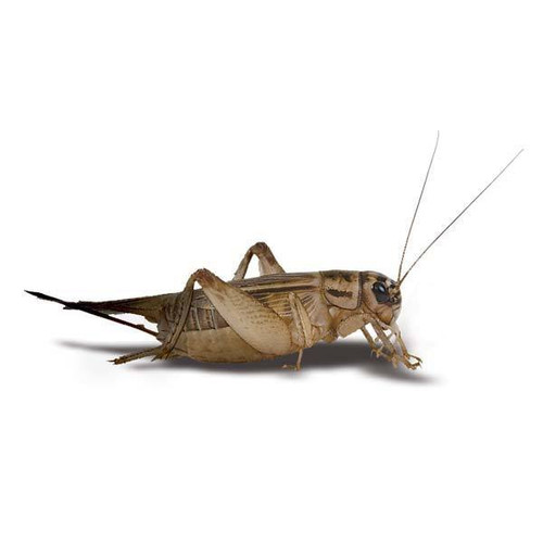 Adult Live Crickets
