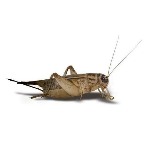 Live Crickets (Acheta) 100 -1000 count free shipping guaranteed live delivery