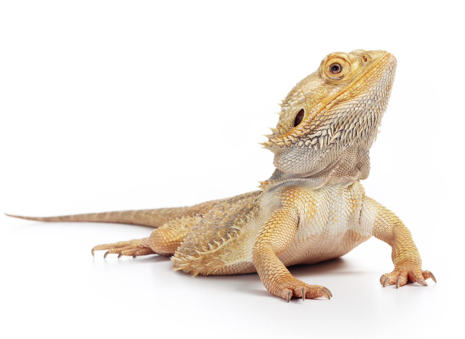 Your Bearded Dragon Has Unique Requirements To Stay Healthy And Hy The Following Can Help You Provide Pet With A Proper Hospitable Home