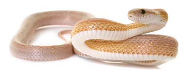 corn-snake.png