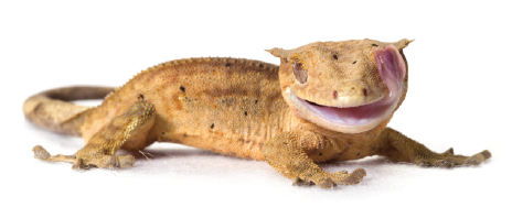 crested-gecko-image-small.png