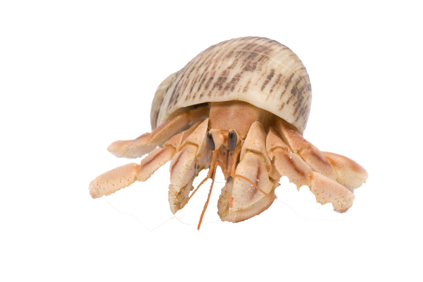 hermit-crab-image-flukers.png
