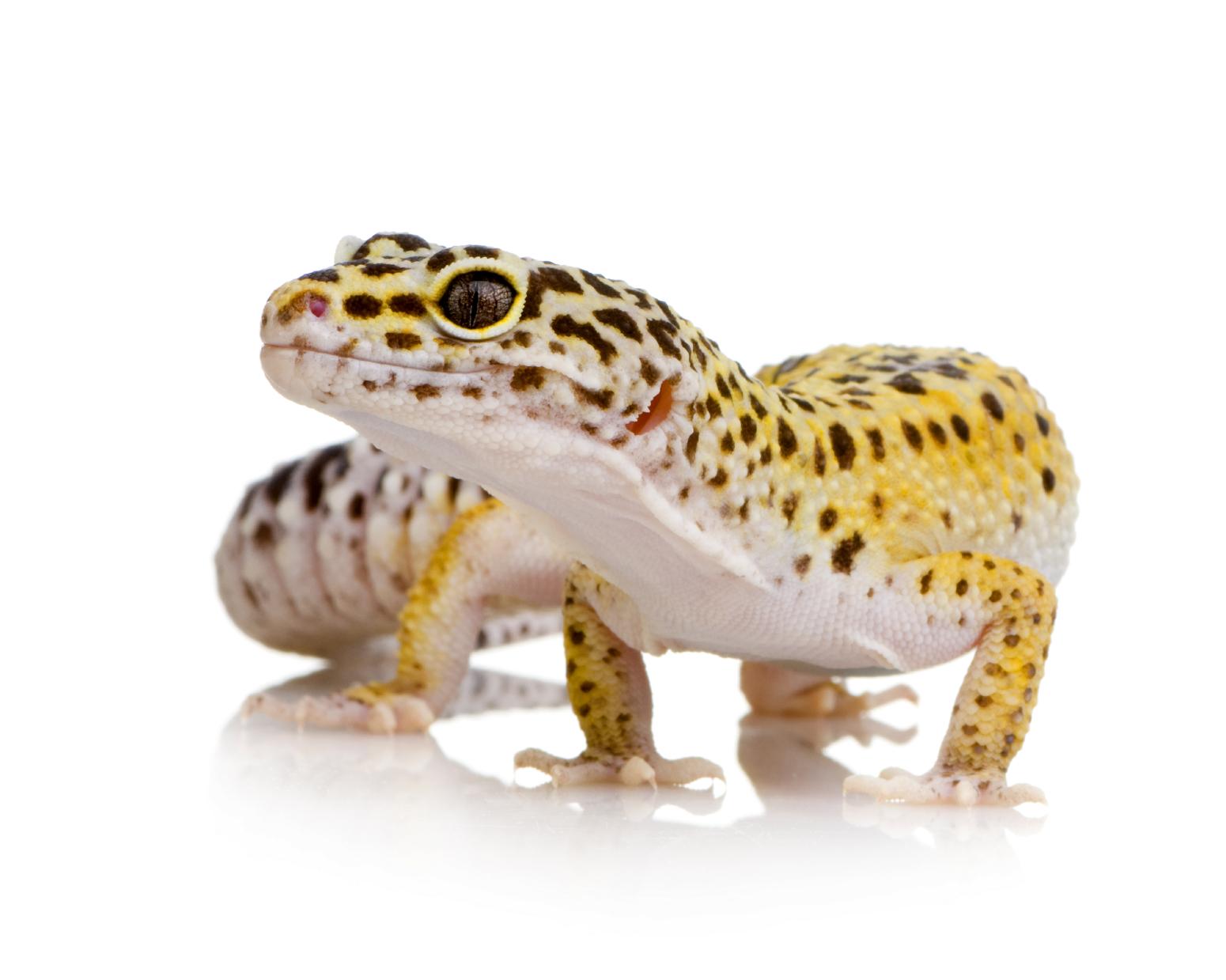 leopard-gecko-image-flukers.png