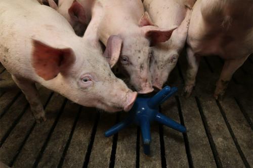 PIG ENRICHMENT TOY LUNA 117