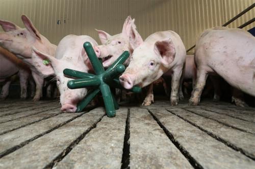 Pig Enrichment Toy Luna 142